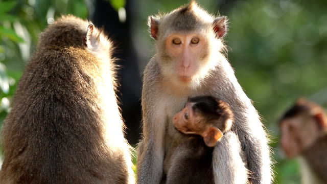 Monkey family in nature video