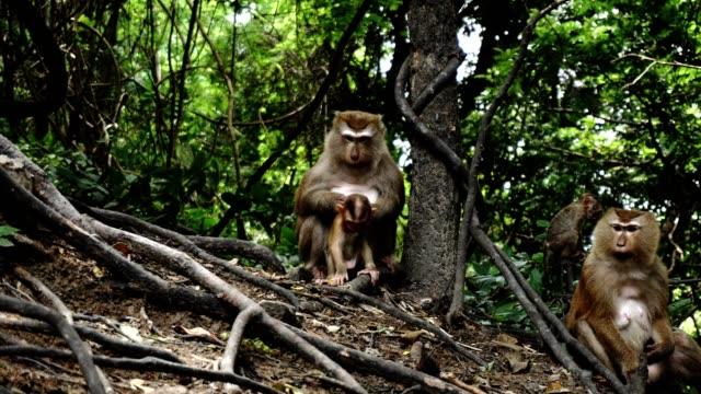 maymun aile ormanlarında - makak maymunu stok videoları ve detay görüntü çekimi