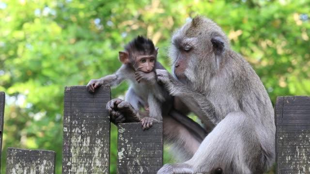 印尼巴厘島的猴族 - 東南 個影片檔及 b 捲影像