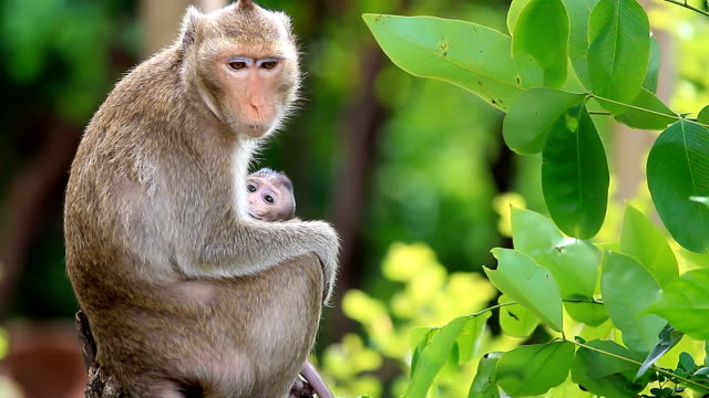 Monkey family. HD 1080P : Mother monkey and her baby. amazon stock videos & royalty-free footage