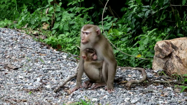 monkey family wildlife monkey family wildlife walking  as forest background blue monkey stock videos & royalty-free footage