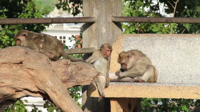 Monkey finding flea. Monkey finding flea on younger monkey. flea insect stock videos & royalty-free footage