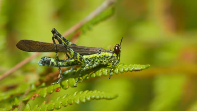 monkey grasshopper eating young fern shoot video