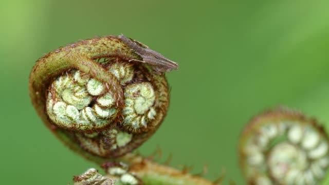 monkey grasshopper on young fern shoot