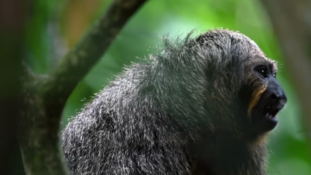 monkey hiding inside tree branches and looking around - formaggio comté video stock e b–roll