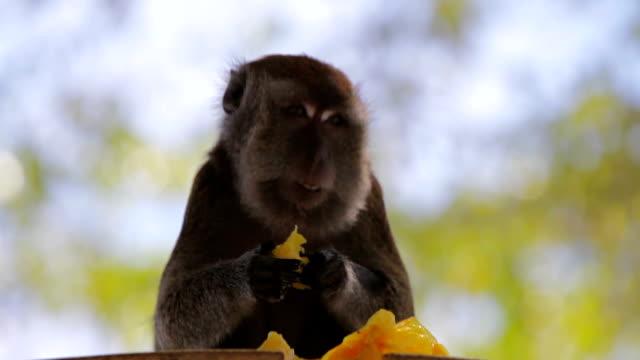vídeos de stock, filmes e b-roll de macaco em uma árvore comendo uma manga de davao filipinas - macaco