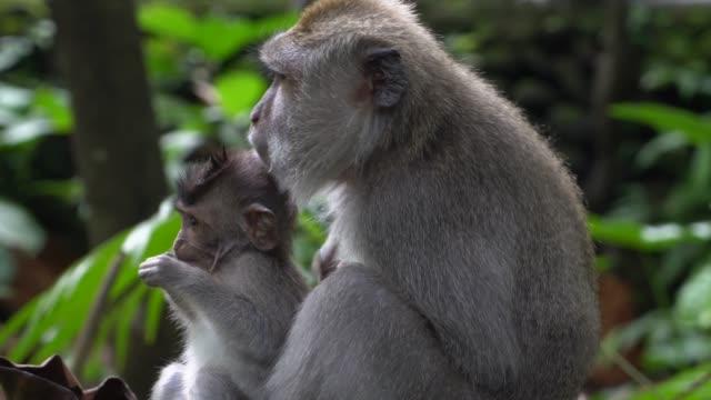 apa i skog - djurfamilj bildbanksvideor och videomaterial från bakom kulisserna