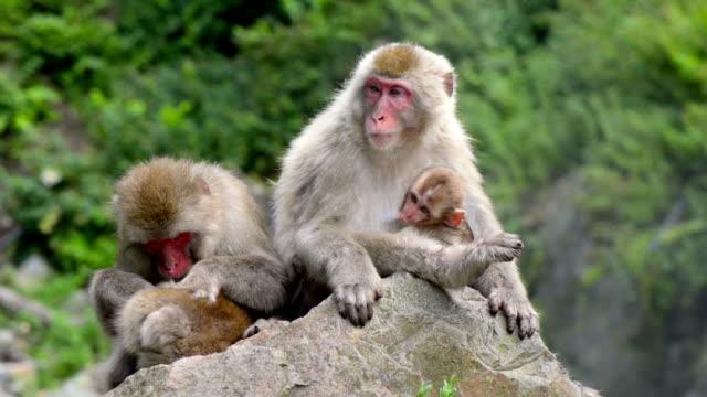 monkey in spa japan - japon makak maymunu stok videoları ve detay görüntü çekimi