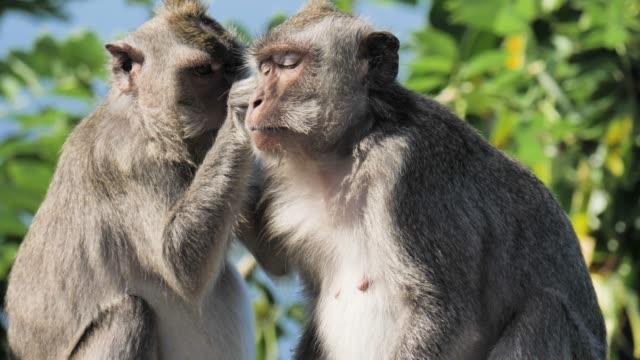 monkey indonesia slowmotion 4k - primat bildbanksvideor och videomaterial från bakom kulisserna