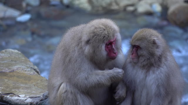 Monkey Japanese Macaque family near Onsen Hot Spring