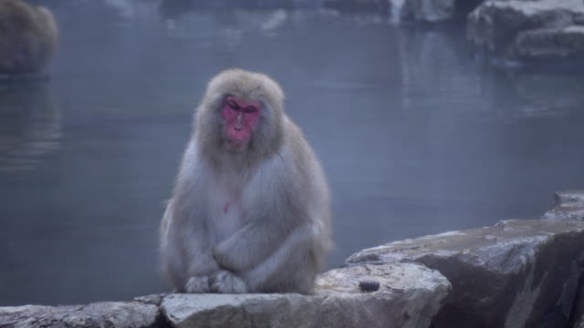 Monkey Japanese Macaque sitting near Onsen Hot Spring