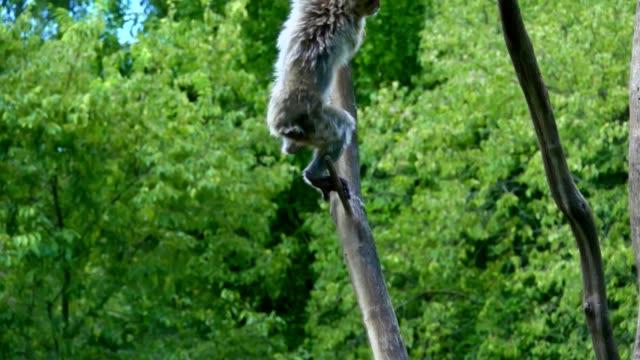 Monkey jump on tree, slow motion