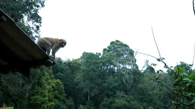 Affe springt auf einem Ast – Video
