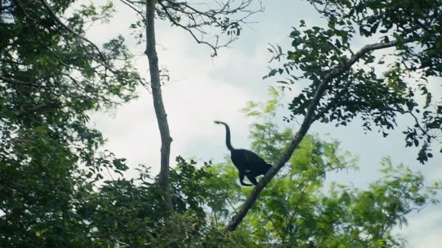 apan hoppar från en gren till en annan - gibbon människoapa bildbanksvideor och videomaterial från bakom kulisserna