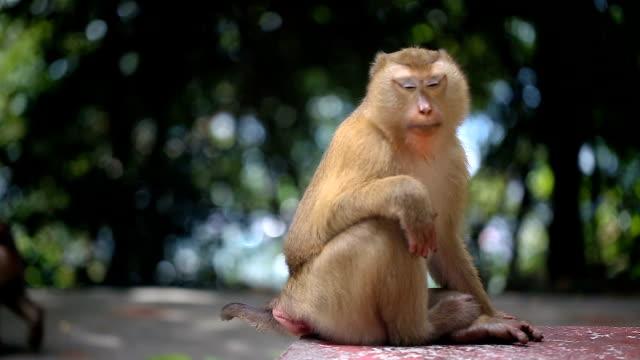 Mono vive en un bosque natural de Phuket Tailandia. - vídeo