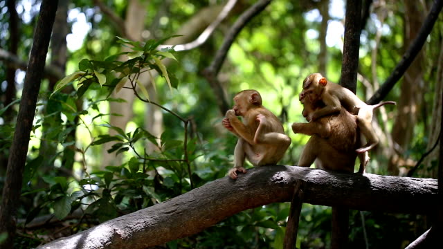 monkey lives in a natural forest of phuket thailand. - phuket video stock e b–roll