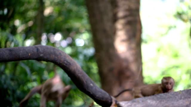 vídeos de stock, filmes e b-roll de macaco vive em uma floresta natural de phuket tailândia. - macaco