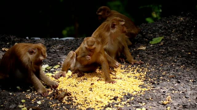 maymun phuket tayland doğal bir ormanda yaşıyor. - makak maymunu stok videoları ve detay görüntü çekimi