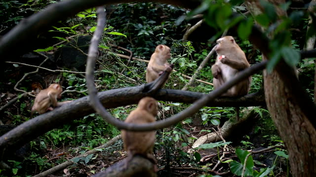 Monkey lives in a natural forest of Phuket Thailand. video