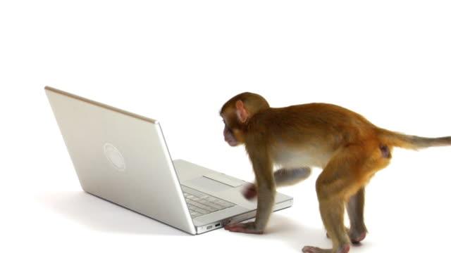 vídeos de stock, filmes e b-roll de macaco olhando para laptop - macaco