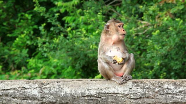 vídeos de stock, filmes e b-roll de macaco macaco sentado em madeira login e comer - macaco