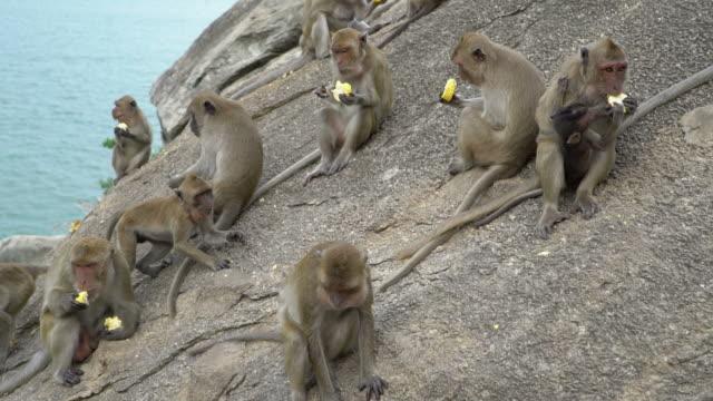 ahşap kütük üstünde oturma ve yemek maymun kıçlı makak - makak maymunu stok videoları ve detay görüntü çekimi