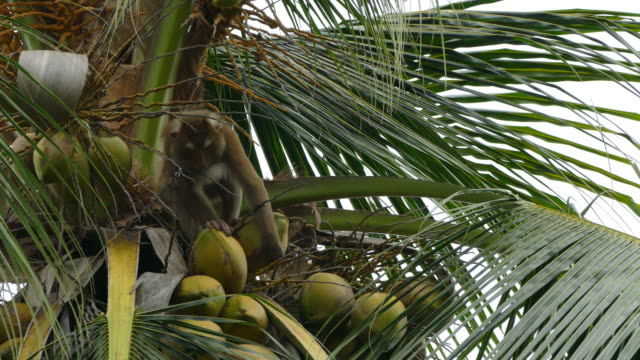 monkey macaque - кокос стоковые видео и кадры b-roll
