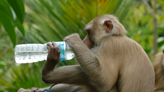 monkey makak - primat bildbanksvideor och videomaterial från bakom kulisserna