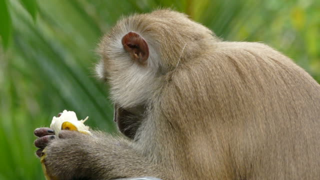 monkey macaque - primate video stock e b–roll