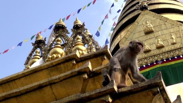 monkey  on swayambhunath stupa golden  altar in kathmandu, nepal - stupa stok videoları ve detay görüntü çekimi