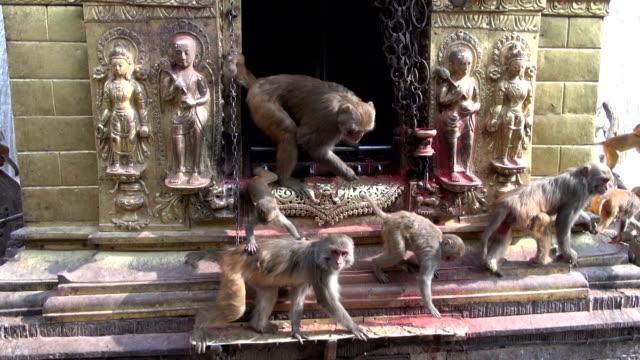 monkey on swayambhunath stupa sacrificial altar in kathmandu, nepal - stupa stok videoları ve detay görüntü çekimi