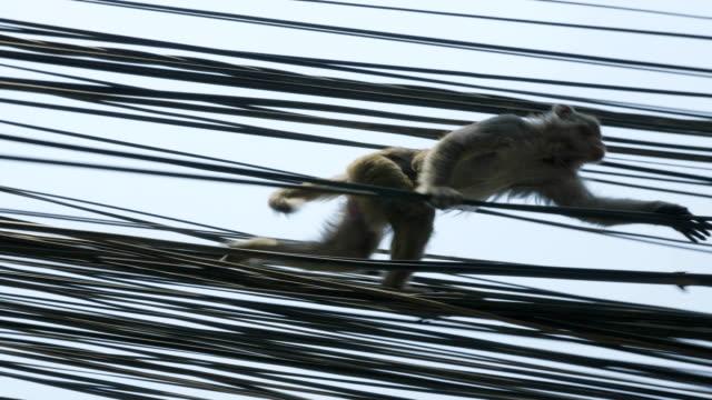 maymun şehirdeki elektrik kablosu üzerinde. katmandu, nepal. - makak maymunu stok videoları ve detay görüntü çekimi
