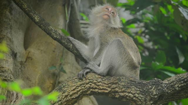 猿のツリー - ゴリラ点の映像素材/bロール