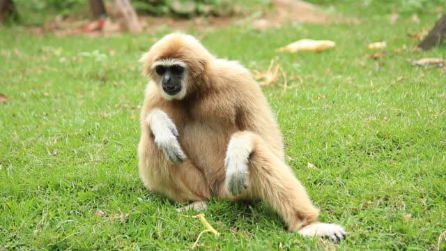 monkey relaxing - gibbon människoapa bildbanksvideor och videomaterial från bakom kulisserna