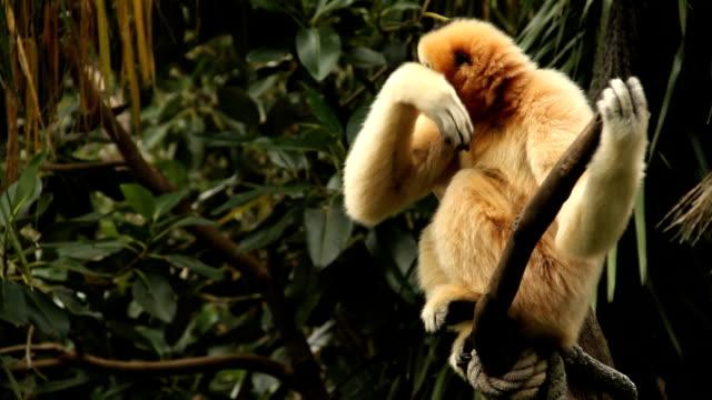 scimmia rilassante - gibbone video stock e b–roll