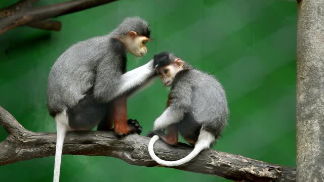 monkey searching fleas video