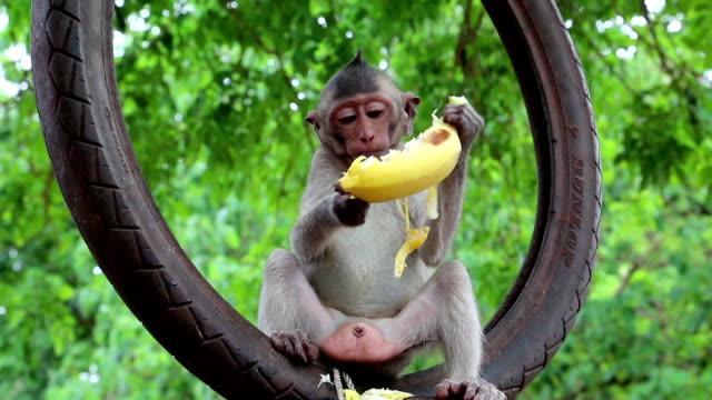 モンキーは、ホイール内側に座っているし、バナナを食べる ビデオ