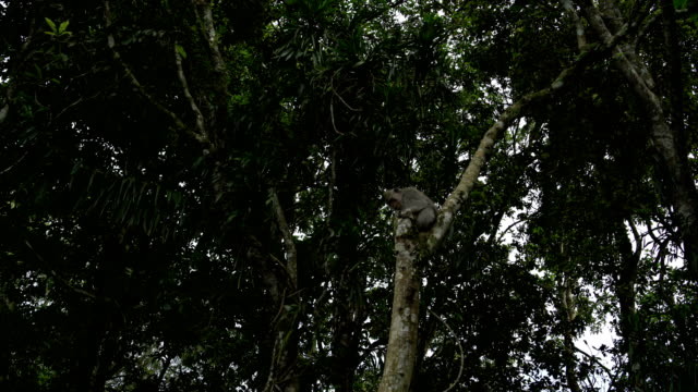 猿は木の上に座っているし、リュウガンの果実をキャッチ - 家系図点の映像素材/bロール