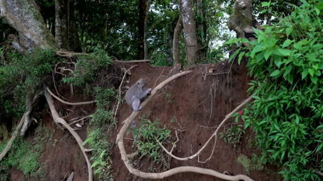 猿が木の枝に座っているし、リュウガンの果実を食べる - 家系図点の映像素材/bロール