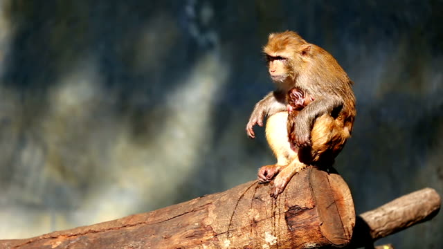 Monkey Monkey with baby animal family stock videos & royalty-free footage