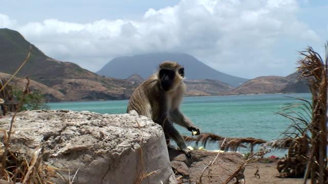 Monkey A monkey in a tropical paradise. blue monkey stock videos & royalty-free footage