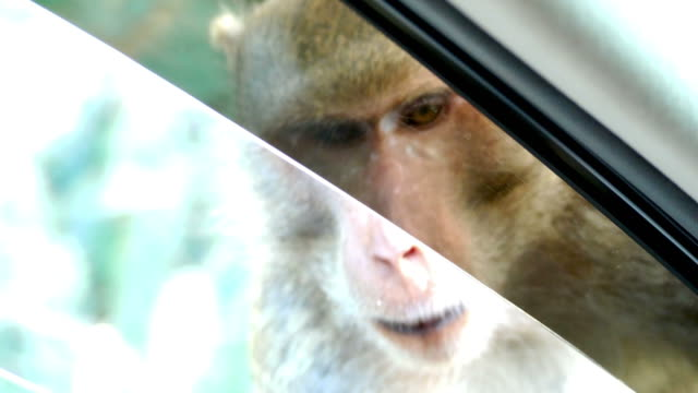 Monkey waiting food from people at window's car , car running video