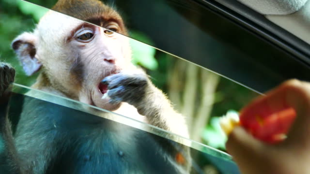Monkey waiting food from people at window's car video