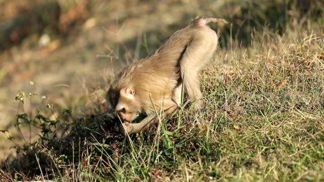 khao yai milli parkı, maymun bazı yemek yeme, ağır çekim, çim yürüyen maymun - makak maymunu stok videoları ve detay görüntü çekimi