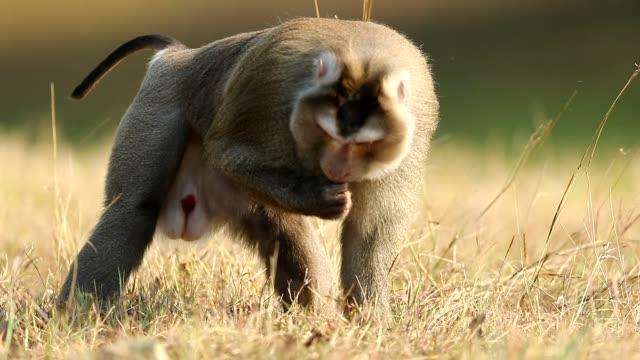 affen, der im gras im khao yai nationalpark, monkey eating some food, slow motion, spazieren geht - schnauze stock-videos und b-roll-filmmaterial