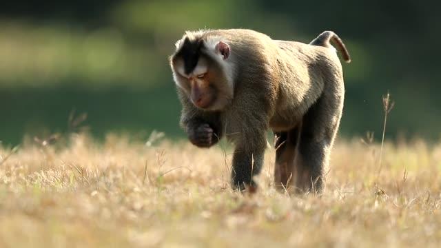 monkey promenader i gräset på khao yai nationalpark, monkey äta lite mat, slow motion - människoapa bildbanksvideor och videomaterial från bakom kulisserna