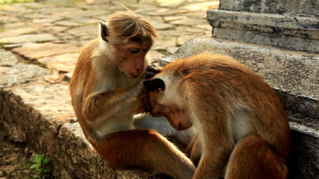 stockvideo's en b-roll-footage met monkeys care - lichaamsverzorging