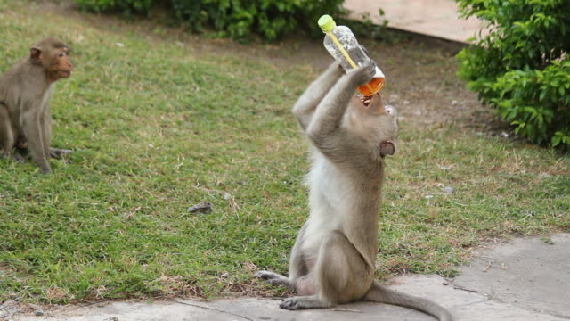 Monkeys drinking video