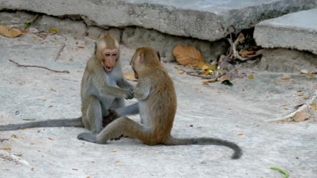 maymunlar mücadele ya da sokakta oyun - makak maymunu stok videoları ve detay görüntü çekimi