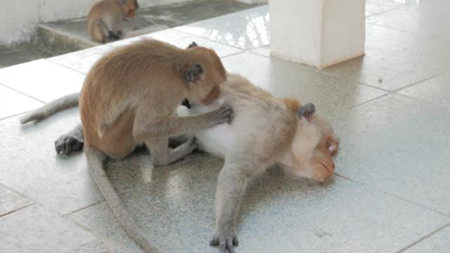 Monkey's Grooming video